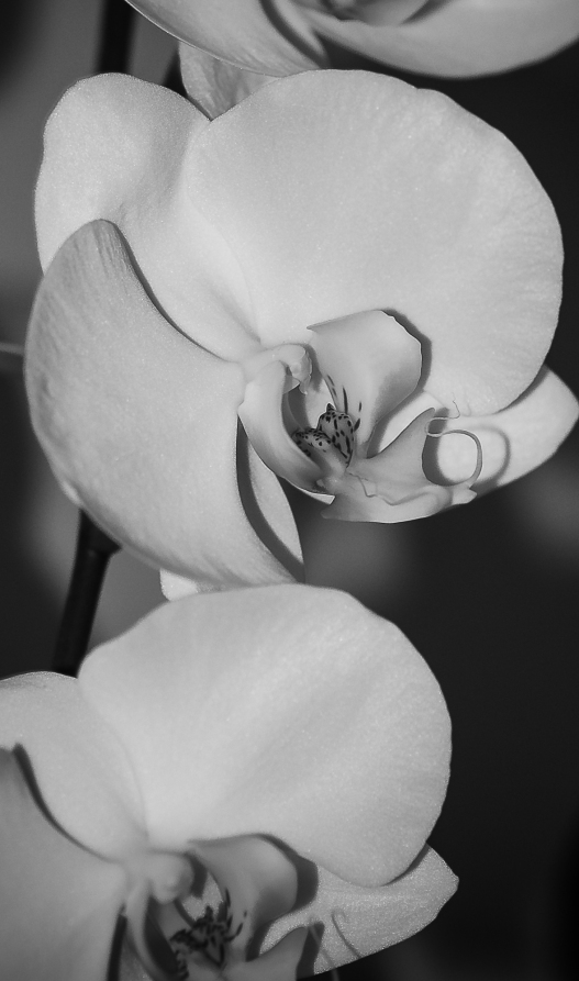 white orchid in B&W