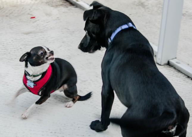Jazz as attack dog