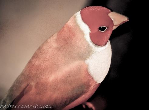 Goldian Finch in Rust.