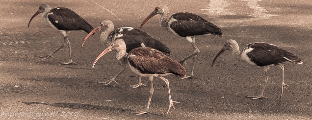 A Flock of Ibis. These lovelies happened to be strolling in my driveway one sunny day.